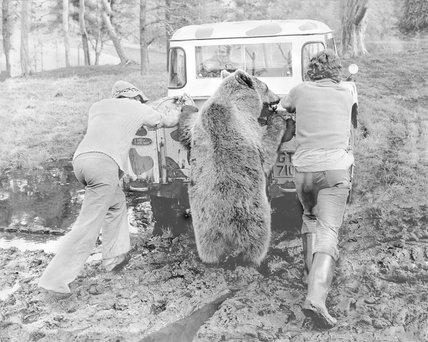 Brown bear lends a paw
