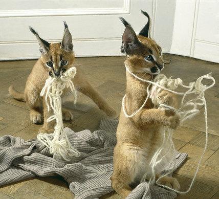 Lynx kittens unraveling