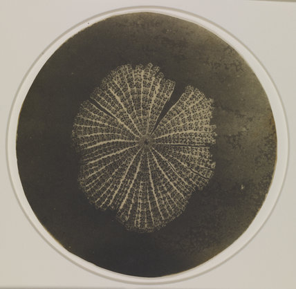 Photomicrograph of a diatom