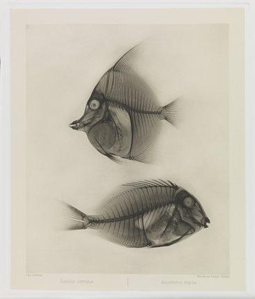 Zwei Seefische, Zanclus Cornutus / Acanthurus Nigros'