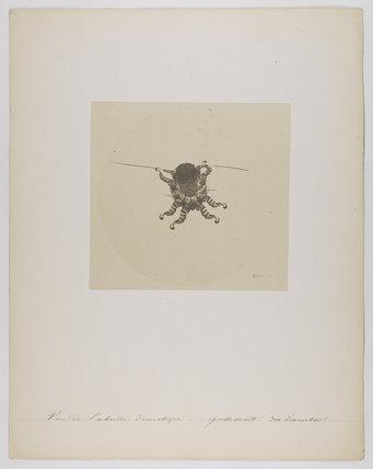 Pou de l'abeille domestique grossiment 300 diametres'