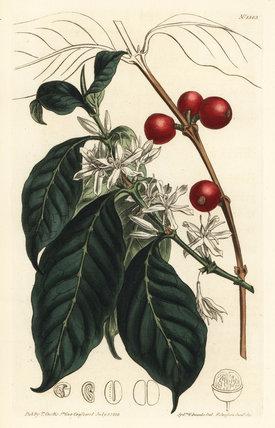 Coffee tree, Coffea arabica.
