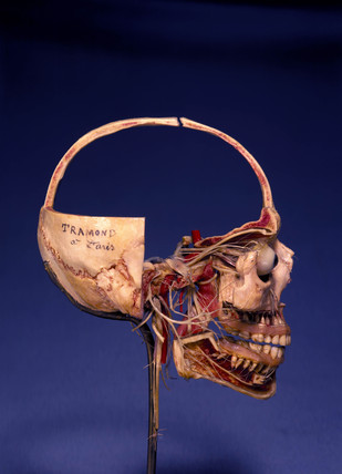 Prepared anatomical skull, 1870-1900.