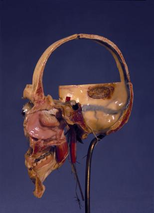 Prepared anatomical skull, 1870-1900.