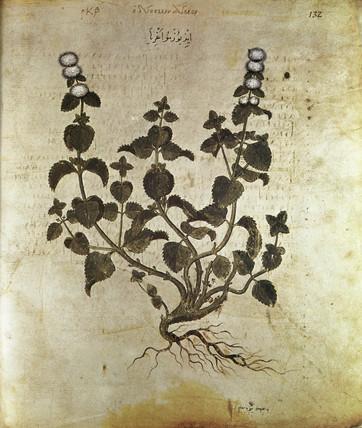 Peppermint, 6th century.