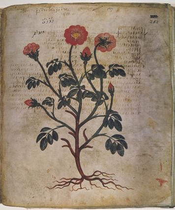 Rose, 6th century.