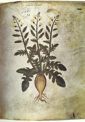 Rhubarb. An illustration from Dioscorides C
