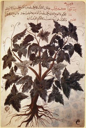 Vine, 15th century.