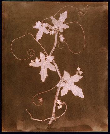 'Byronia dioca - The English Wild Vine', c 1839.