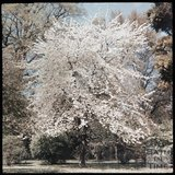 Dufaycolor view of a Cherry Tree, Botanical Gardens, May 1937