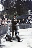 Dudley Zoo Keeper and sea lions, c.1959