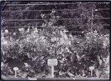 Ilex Aquifolium Albo Marginata Holly 1909