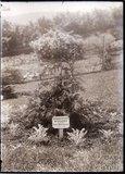 Chamaecyparis Nutkaensis 1909