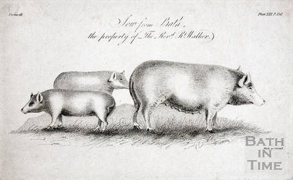 Sow from Bath, the property of The Revd Robert Walker.