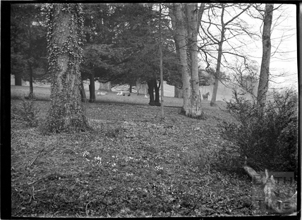Woodland in Claverton Manor Grounds in the spring, c.1930s