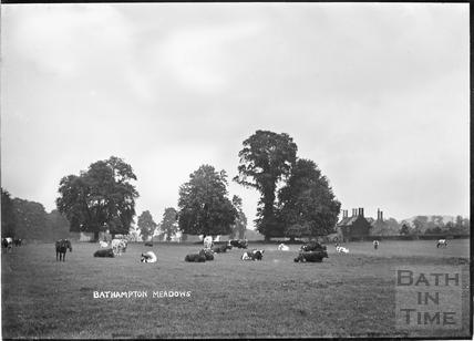 Cattle grazing in Bathampton Meadows, c.1922