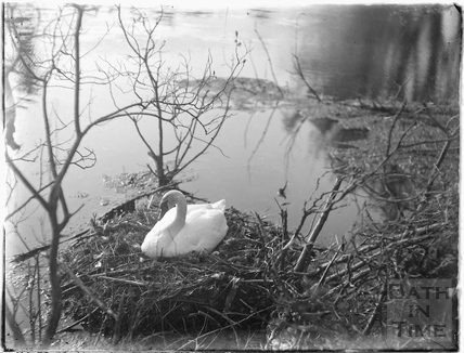 Nesting Swan, Bath c.1920
