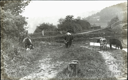 Grazing cows at the Kennet and Avon Canal, Dundas c.1905