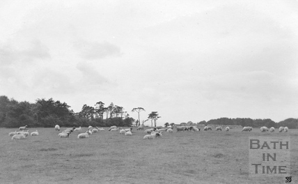 Hampton Down with sheep c.1910