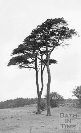 Fir Trees on Hampton Down c.1910