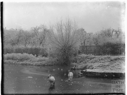 Swans on the frozen Kennet and Avon canal at Sydney Buildings, Bath c.1930