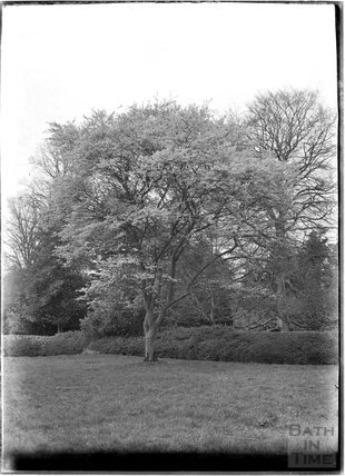 Tree in parkland, Alford, near Castle Carey, Somerset, c.1930s