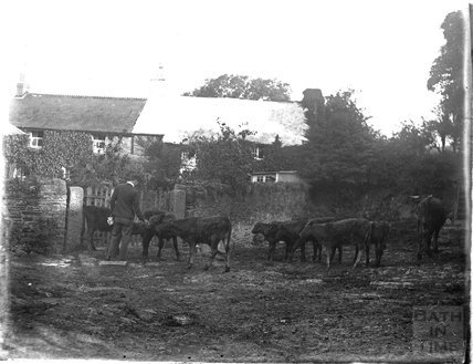 A farmer with his cattle in Yelverton, Dartmoor, Devon, 1928