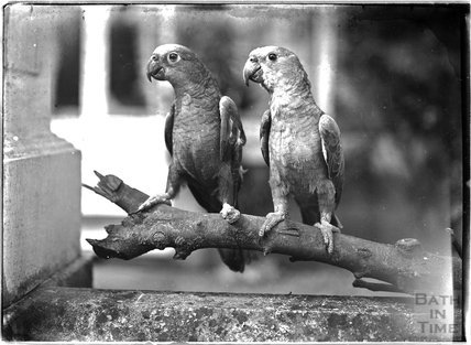 Two parrots (!), c.1915