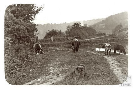 Cows beside the Kennet and Avon Canal, Dundas Aqueduct c.1910
