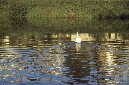 A swan on the Kennet and Avon Canal, Bath 1979