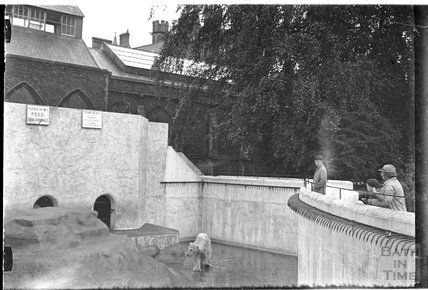 Polar Bear at Bristol Zoo, c.1920s