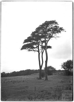 A study of trees, thought to be at Bathampton Down, c.1900s