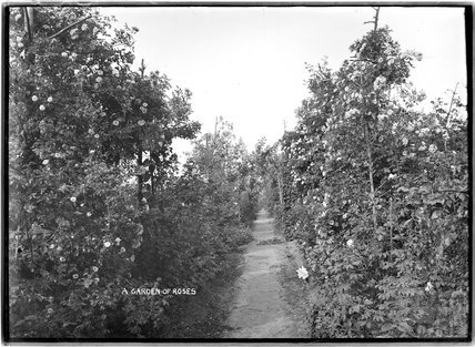 A gardens of roses, c.1910s