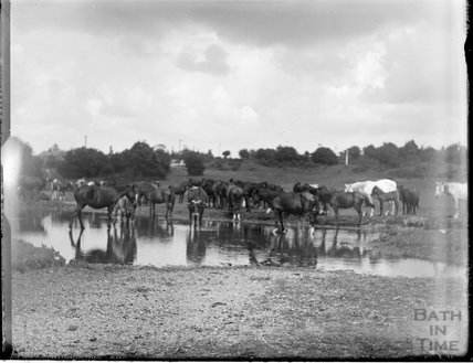 Group of cows at a watering hole c.1890s