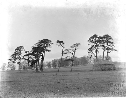 A study of trees, thought to be Claverton Down, c.1890s