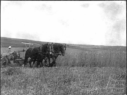 Harvesting on Salisbury Plain, c.1900s