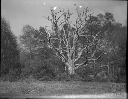 Dead tree in unidentified location, possibly Isle of Wight, c.1900s