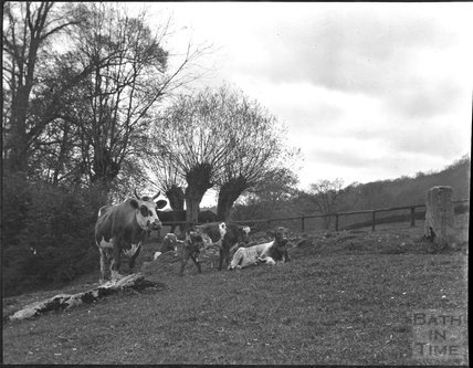 Cows at an unidentified countryside location c.1900