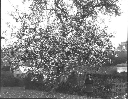 Tree in blossom with a young girl, unidentified location, c.1900s