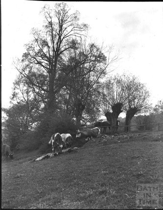 Cows at an unidentified countryside location, c.1900s
