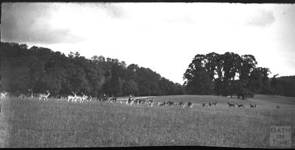 Deer at Longleat, c.1900s