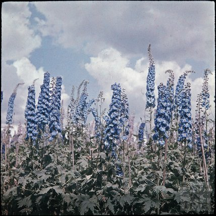 Delphiniums at Blackmore & Langdons, Twerton Hill Nursery, Bath c.1937?