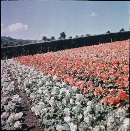 Begonias at Blackmore & Langdons, Twerton Hill Nursery, Bath c.1937?