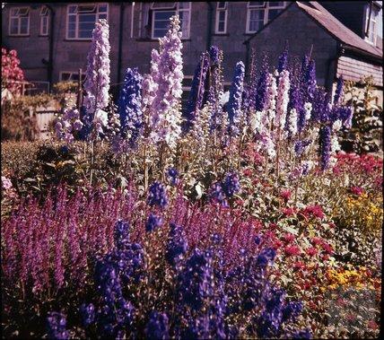 Border in the garden of the photographer in Shakespeare Avenue, Bath, 1955