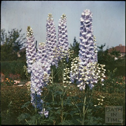 Delphiniums in the garden of the photographer in Shakespeare Avenue, Bath, 1955