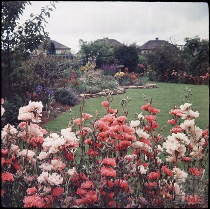 Godetias in the garden of the photographer in Shakespeare Avenue, Bath, 1955