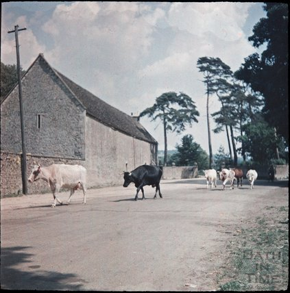 Cows crossing the road in Lacock, Wiltshire, 1937