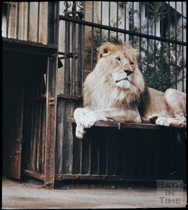 Lions at Bristol Zoo, Clifton, Bristol, 1937?