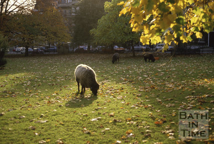 Sheep in St James' Square, Dec 1986