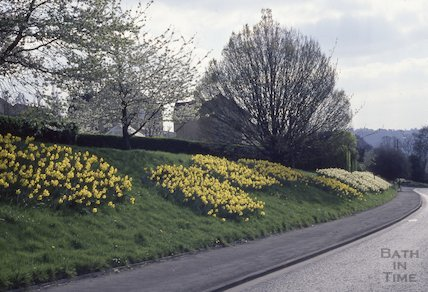 Daffodils along the Warminster Road, 1990